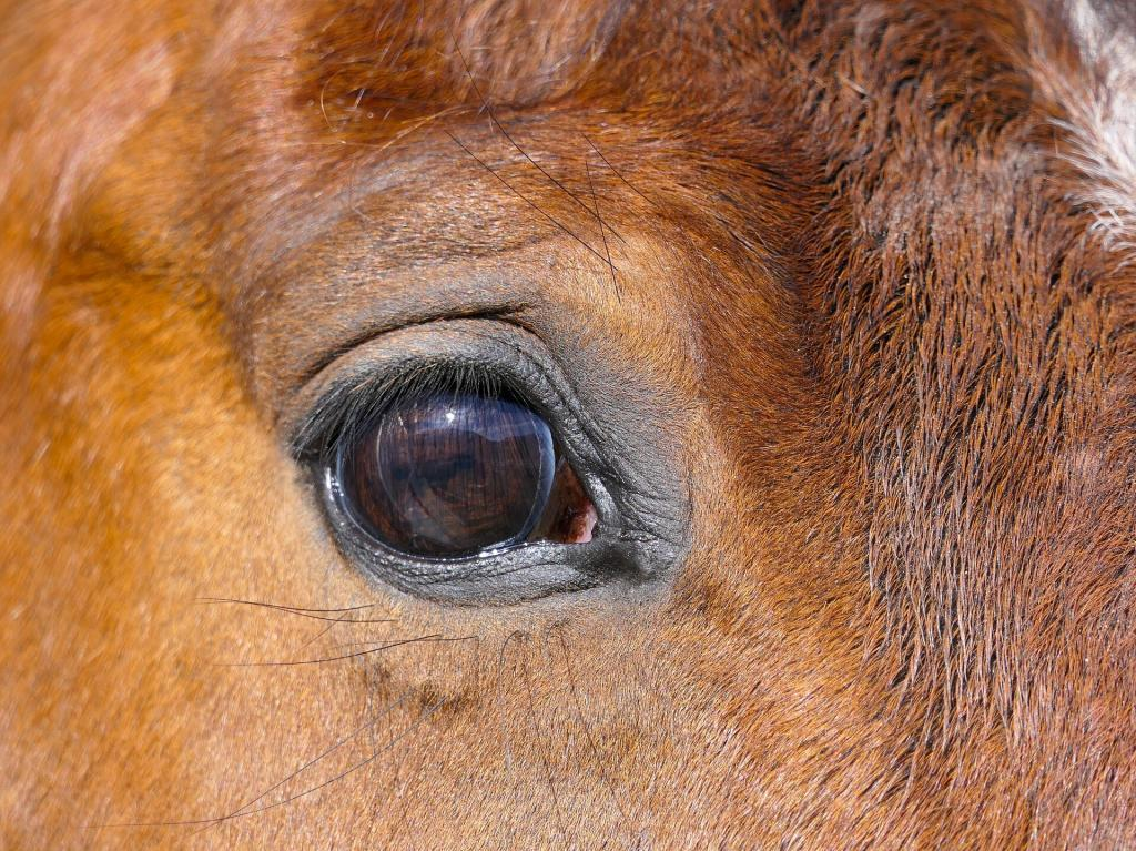 Oeil du cheval quelle perception des clôtures chevaux