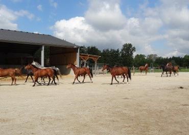 Le réchauffement climatique a-t-il une influence sur le bien-être des chevaux ?